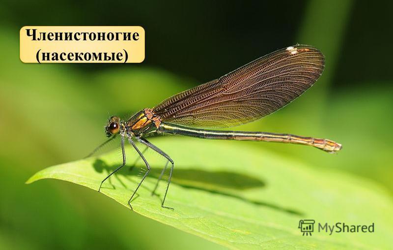 Голубой аэропланчик сел на белый одуванчик Членистоногие (насекомые)