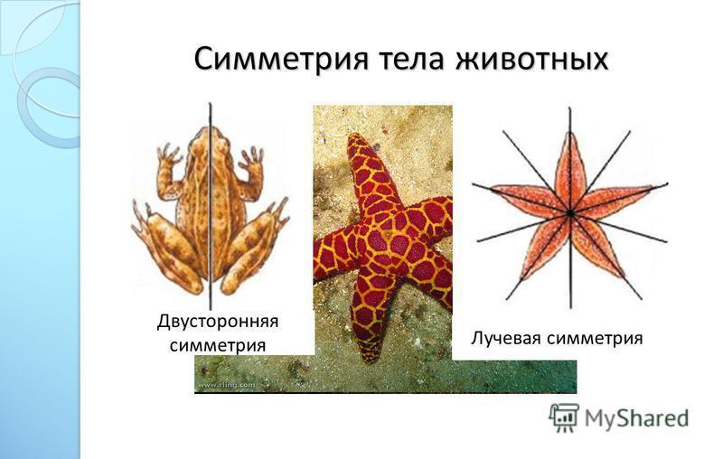 Симметрия тела животных Двусторонняя симметрия Лучевая симметрия