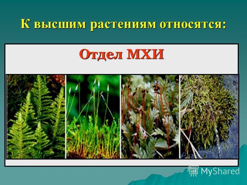 К высшим растениям относятся: Отдел МХИ