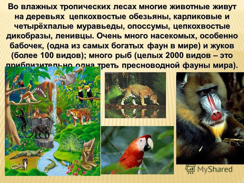 Во влажных тропических лесах многие животные живут на деревьях цепкохвостые обезьяны, карликовые и четырёхпалые муравьеды, опоссумы, цепкохвостые дикобразы, ленивцы. Очень много насекомых, особенно бабочек, (одна из самых богатых фаун в мире) и жуков