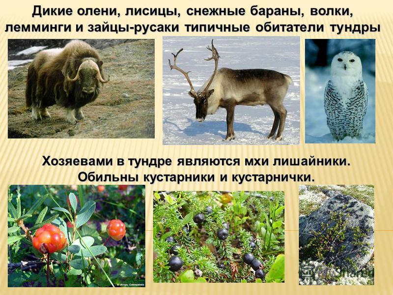 Дикие олени, лисицы, снежные бараны, волки, лемминги и зайцы-русаки типичные обитатели тундры Хозяевами в тундре являются мхи лишайники. Обильны кустарники и кустарнички.
