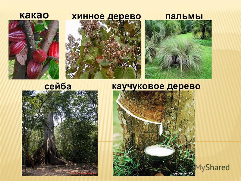 какао хинное дерево пальмы сейба каучуковое дерево
