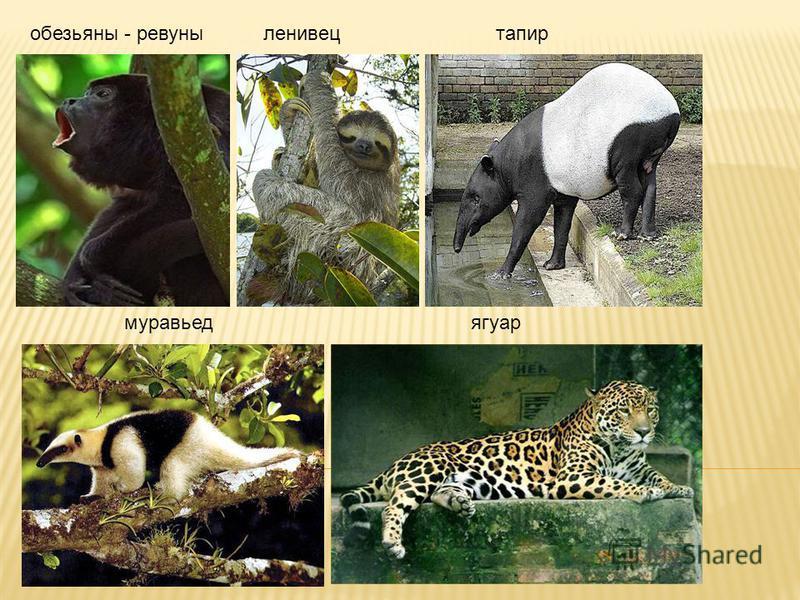 обезьяны - ревуныленивецтапир муравьед ягуар