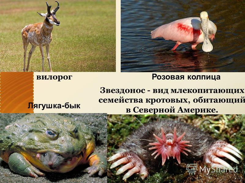 вилорог Розовая колпица Звездонос - вид млекопитающих семейства кротовых, обитающий в Северной Америке. Лягушка-бык