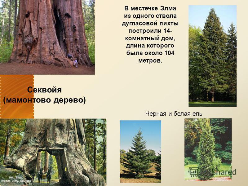 Секвойя (мамонтово дерево) В местечке Элма из одного ствола дугласовой пихты построили 14- комнатный дом, длина которого была около 104 метров. Черная и белая ель