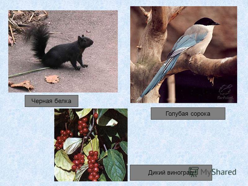 Черная белка Голубая сорока Дикий виноград