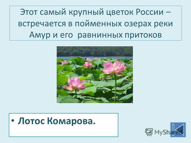 Этот самый крупный цветок России – встречается в пойменных озерах реки Амур и его равнинных притоков Лотос Комарова.