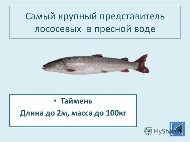 Самый крупный представитель лососевых в пресной воде Таймень Длина до 2 м, масса до 100 кг