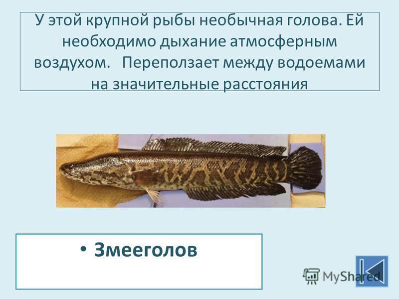 У этой крупной рыбы необычная голова. Ей необходимо дыхание атмосферным воздухом. Переползает между водоемами на значительные расстояния Змееголов