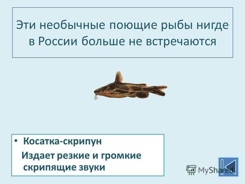 Эти необычные поющие рыбы нигде в России больше не встречаются Косатка-скрипун Издает резкие и громкие скрипящие звуки