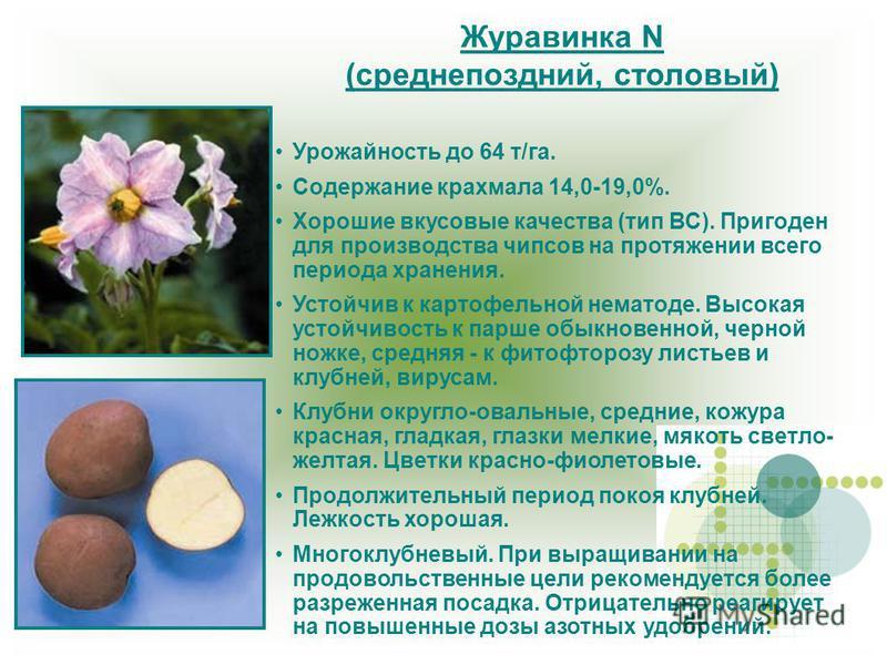Журавинка N (среднепоздний, столовый) Урожайность до 64 т/га. Содержание крахмала 14,0-19,0%. Хорошие вкусовые качества (тип ВС). Пригоден для производства чипсов на протяжении всего периода хранения. Устойчив к картофельной нематоде. Высокая устойчи