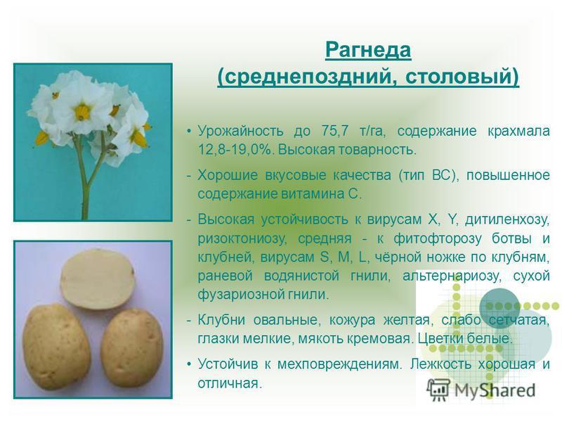 Рагнеда (среднепоздний, столовый) Урожайность до 75,7 т/га, содержание крахмала 12,8-19,0%. Высокая товарность. -Хорошие вкусовые качества (тип ВС), повышенное содержание витамина С. -Высокая устойчивость к вирусам X, Y, дитиленхозу, ризоктониозу, ср