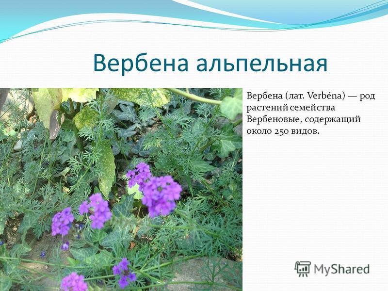 Вербена ампельная Вербена (лат. Verbéna) род растений семейства Вербеновые, содержащий около 250 видов.