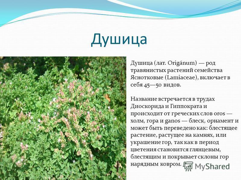 Душица Душица (лат. Origánum) род травянистых растений семейства Яснотковые (Lamiaceae), включает в себя 4550 видов. Название встречается в трудах Диоскорида и Гиппократа и происходит от игреческих слов oros холм, гора и ganos блеск, орнамент и может