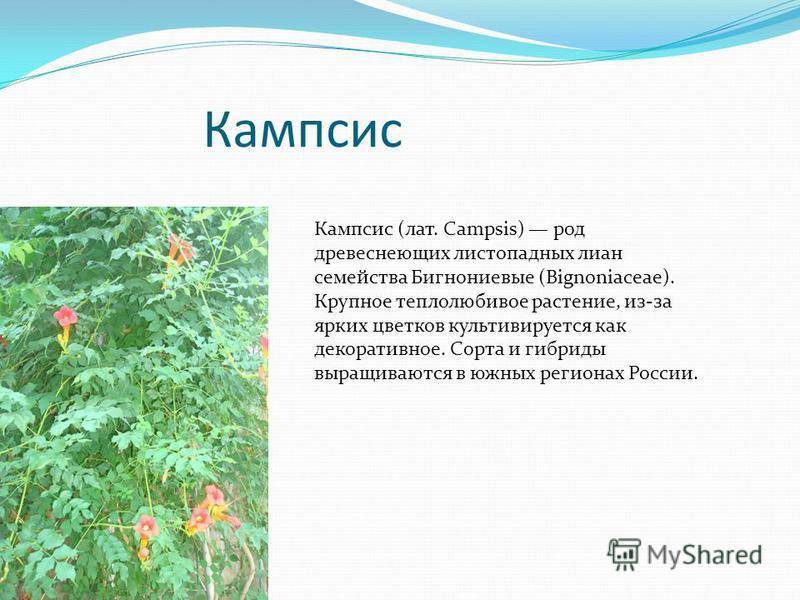 Кампсис Кампсис (лат. Campsis) род древеснеющих листопадных лиан семейства Бигнониевые (Bignoniaceae). Крупное теплолюбивое растение, из-за ярких цветков культивируется как декоративное. Сорта и гибриды выращиваются в южных регионах России.