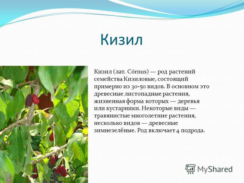 Кизил Кизил (лат. Córnus) род растений семейства Кизиловые, состоящий примерно из 30-50 видов. В основном это древесные листопадные растения, жизненная форма которых деревья или кустарники. Некоторые виды травянистые многолетние растения, несколько в