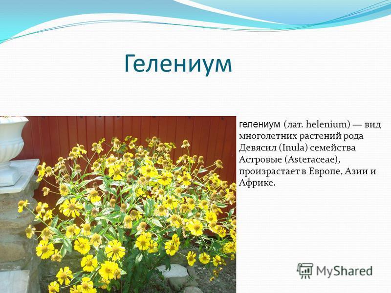 Гелениум гелениум (лат. helenium) вид многолетних растений рода Девясил (Inula) семейства Астровые (Asteraceae), произрастает в Европе, Азии и Африке.
