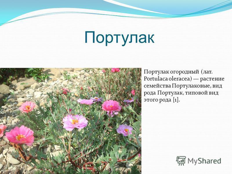 Портулак Портулак огородный (лат. Portulaca oleracea) растение семейства Портулаковые, вид рода Портулак, типовой вид этого рода [1].