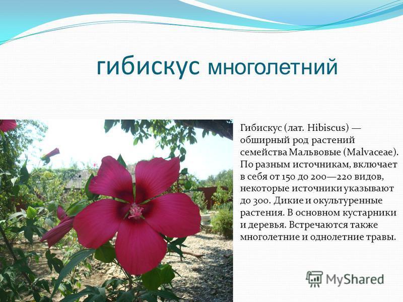 гибискус многолетний Гибискус (лат. Hibiscus) обширный род растений семейства Мальвовые (Malvaceae). По разным источникам, включает в себя от 150 до 200220 видов, некоторые источники указывают до 300. Дикие и окультуренные растения. В основном кустар