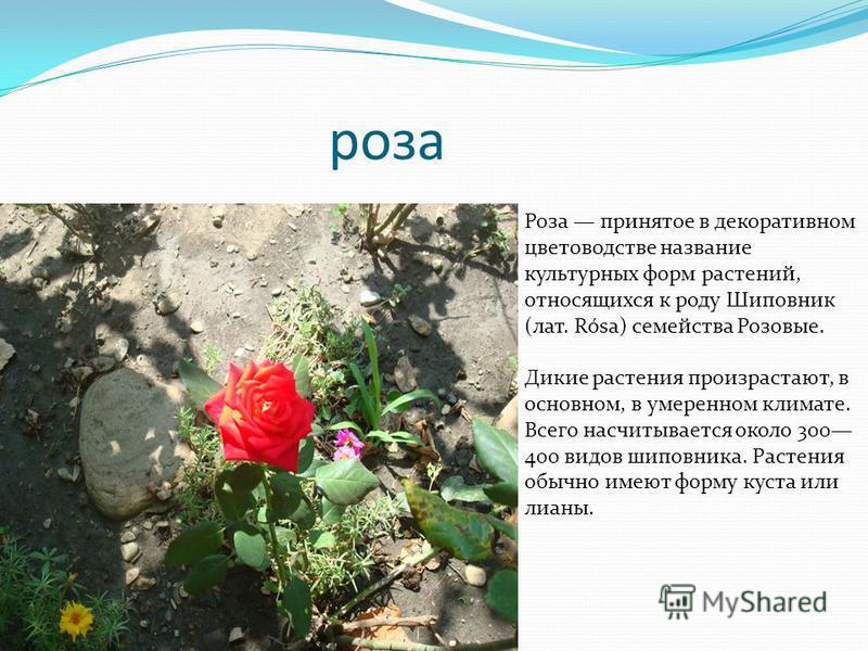 роза Роза принятое в декоративном цветоводстве название культурных форм растений, относящихся к роду Шиповник (лат. Rósa) семейства Розовые. Дикие растения произрастают, в основном, в умеренном климате. Всего насчитывается около 300 400 видов шиповни