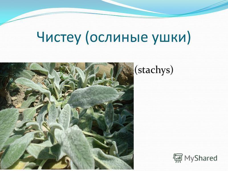 Чистеу (ослиные ушки) (stachys)