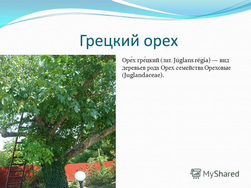 Грецкий орех Оре́х игре́цкий (лат. Júglans régia) вид деревьев рода Орех семейства Ореховые ( Juglandaceae).