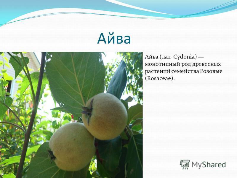 Айва Айва (лат. Cydonia) монотипный род древесных растений семейства Розовые (Rosaceae).