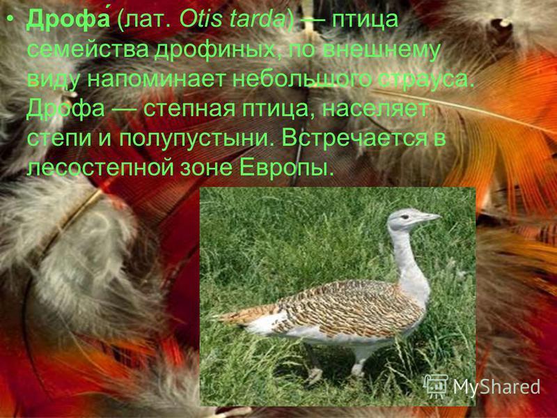 Дрофа́ (лат. Otis tarda) птица семейства дрофиных, по внешнему виду напоминает небольшого страуса. Дрофа степная птица, населяет степи и полупустыни. Встречается в лесостепной зоне Европы.