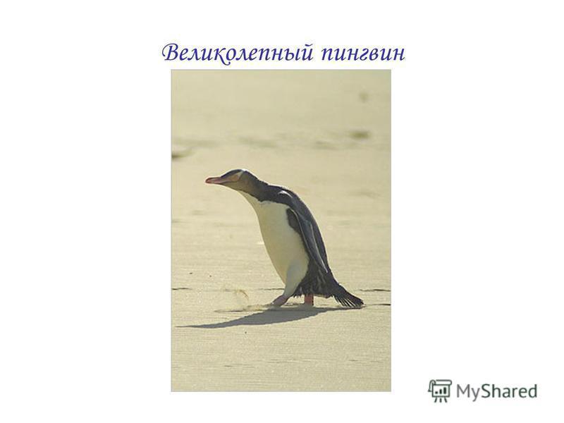 Великолепный пингвин