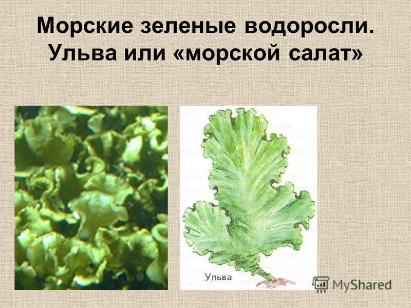 Морские зеленые водоросли. Ульва или «морской салат»