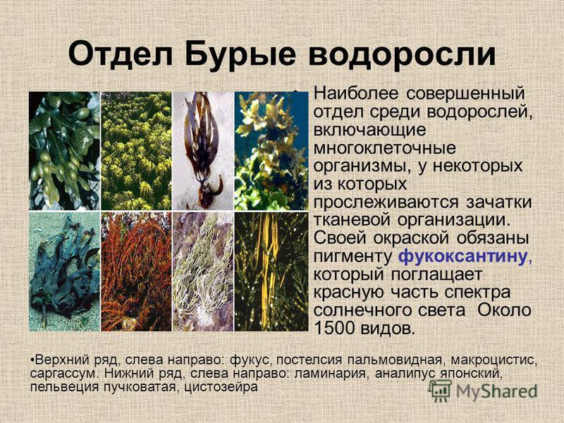 Отдел Бурые водоросли Наиболее совершенный отдел среди водорослей, включающие многоклеточные организмы, у некоторых из которых прослеживаются зачатки тканевой организации. Своей окраской обязаны пигменту фукоксантину, который поглощает красную часть