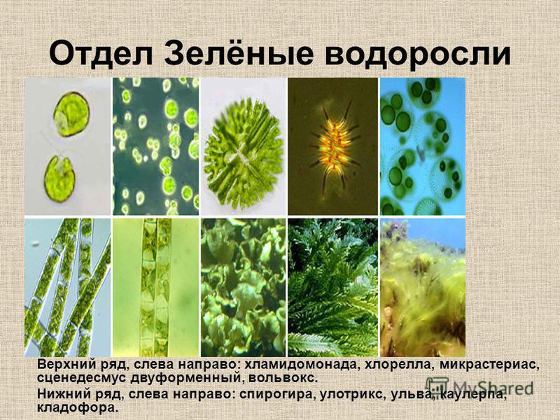 Отдел Зелёные водоросли Верхний ряд, слева направо: хламидомонада, хлорелла, микрастериас, сценедесмус двуформенный, вольвокс. Нижний ряд, слева направо: спирогира, улотрикс, ульва, каулерпа, кладофора.