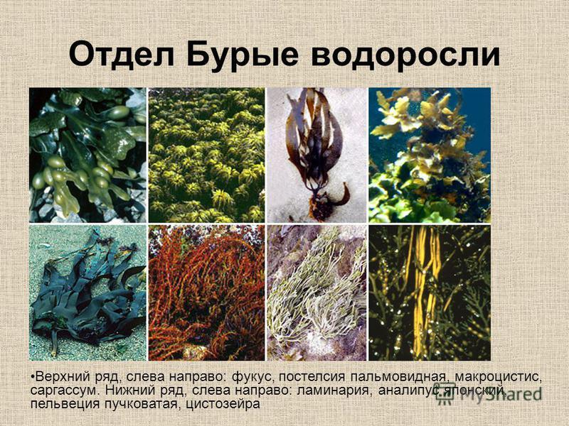 Отдел Бурые водоросли Верхний ряд, слева направо: фукус, постелсия пальмовидная, макроцистис, саргассум. Нижний ряд, слева направо: ламинария, аналипус японский, пельвеция пучковатая, цистозейра