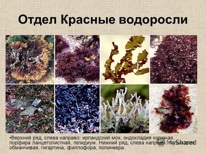 Отдел Красные водоросли Верхний ряд, слева направо: ирландский мох, эндокладия колючая, порфира ланцетолистная, гелидиум. Нижний ряд, слева направо: пальмария обманчивая, гигартина, филлофора, полиневра.