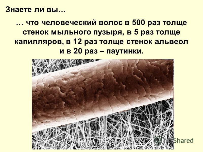 … что человеческий волос в 500 раз толще стенок мыльного пузыря, в 5 раз толще капилляров, в 12 раз толще стенок альвеол и в 20 раз – паутинки. Знаете ли вы…