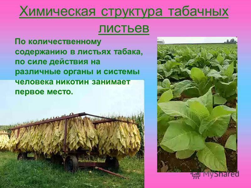 Химическая структура табачных листьев По количественному содержанию в листьях табака, по силе действия на различные органы и системы человека никотин занимает первое место.