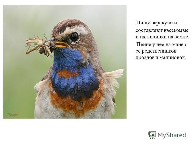 Пищу варакушки составляют насекомые и их личинки на земле. Пение у неё на манер ее родственников дроздов и малиновок.