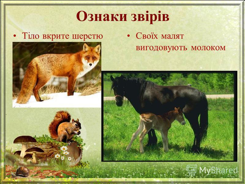 Ознаки звірів Тіло вкрите шерстюСвоїх малят вигодовують молоком