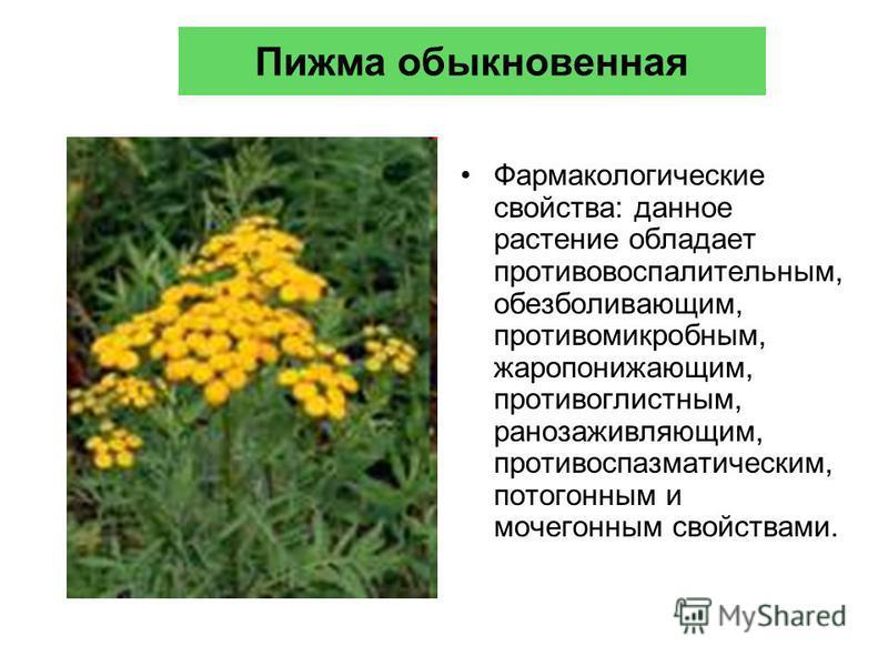 Пижма обыкновенная Фармакологические свойства: данное растение обладает противовоспалительным, обезболивающим, противомикробным, жаропонижающим, противоглистным, ранозаживляющим, противоспазматическим, потогонным и мочегонным свойствами.