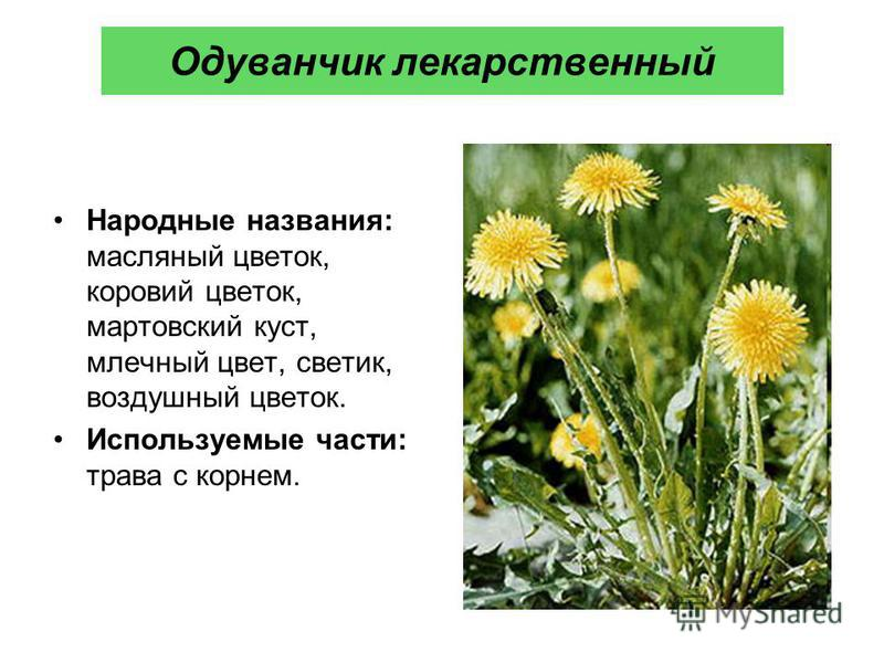Одуванчик лекарственный Народные названия: масляный цветок, коровий цветок, мартовский куст, млечный цвет, светик, воздушный цветок. Используемые части: трава с корнем.