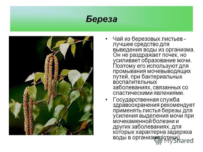 Бeреза Чай из березовых листьев - лучшее средство для выведения воды из организма. Он не раздражает почек, но усиливает образование мочи. Поэтому его используют для промывания мочевыводящих путей, при бактериальных воспалительных заболеваниях, связан