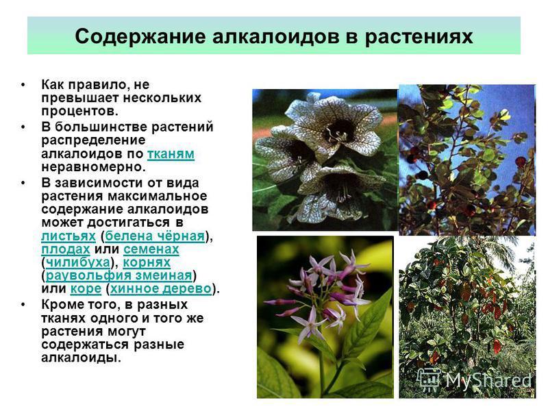 Содержание алкалоидов в растениях Как правило, не превышает нескольких процентов. В большинстве растений распределение алкалоидов по тканям неравномерно.тканям В зависимости от вида растения максимальное содержание алкалоидов может достигаться в лист