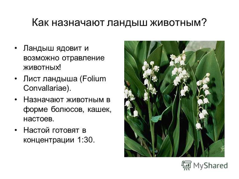 Как назначают ландыш животным? Ландыш ядовит и возможно отравление животных! Лист ландыша (Folium Convallariae). Назначают животным в форме болюсов, кашек, настоев. Настой готовят в концентрации 1:30.
