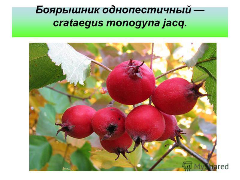 Боярышник однопестичный crataegus monogyna jacq.