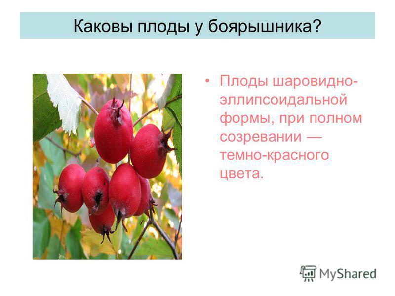 Каковы плоды у боярышника? Плоды шаровидно- эллипсоидальной формы, при полном созревании темно-красного цвета.