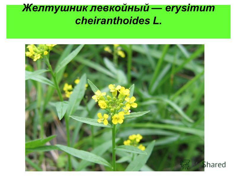 Желтушник левкойный erysimum cheiranthoides L.