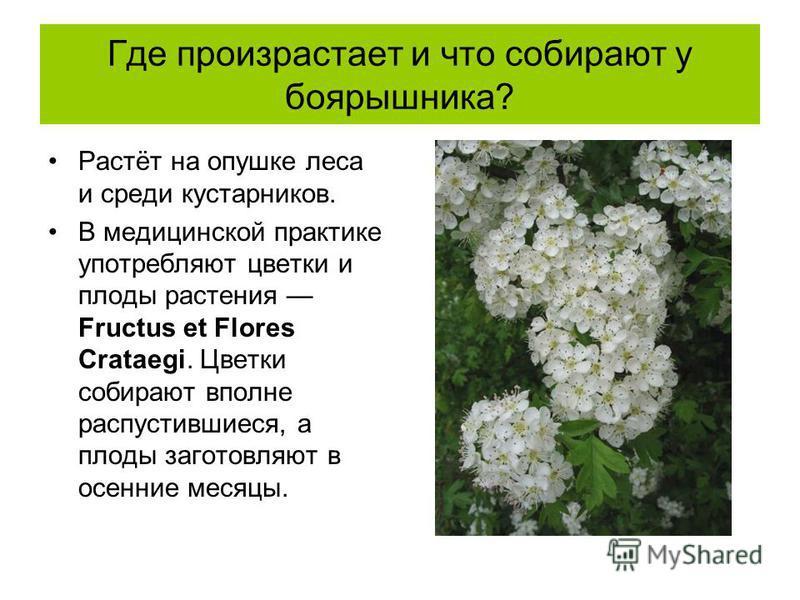 Где произрастает и что собирают у боярышника? Растёт на опушке леса и среди кустарников. В медицинской практике употребляют цветки и плоды растения Fructus et Flores Crataegi. Цветки собирают вполне распустившиеся, а плоды заготовляют в осенние месяц