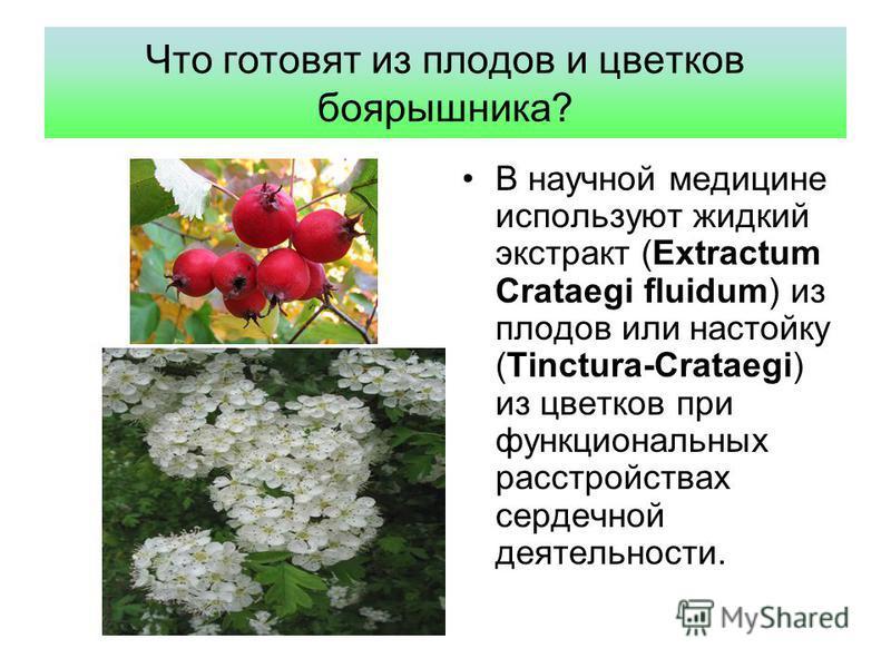 Что готовят из плодов и цветков боярышника? В научной медицине используют жидкий экстракт (Extractum Crataegi fluidum) из плодов или настойку (Tinctura-Crataegi) из цветков при функциональных расстройствах сердечной деятельности.