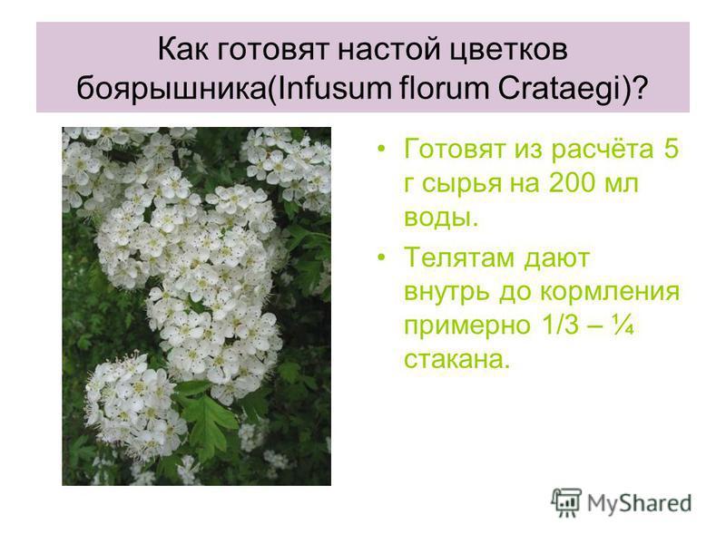 Как готовят настой цветков боярышника(Infusum florum Crataegi)? Готовят из расчёта 5 г сырья на 200 мл воды. Телятам дают внутрь до кормления примерно 1/3 – ¼ стакана.