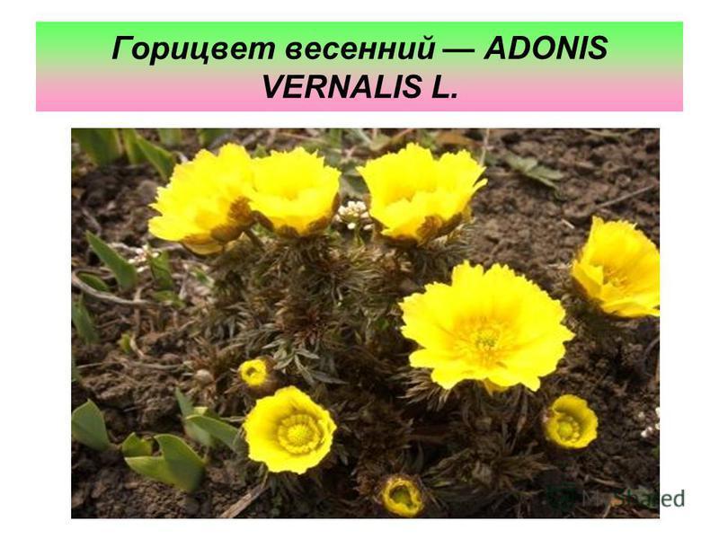 Горицвет весенний ADONIS VERNALIS L.